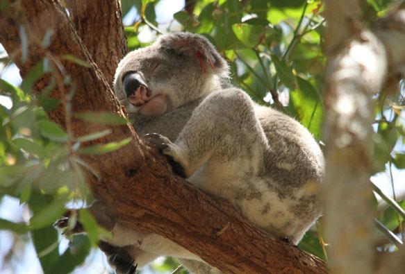 Сон у животных коала