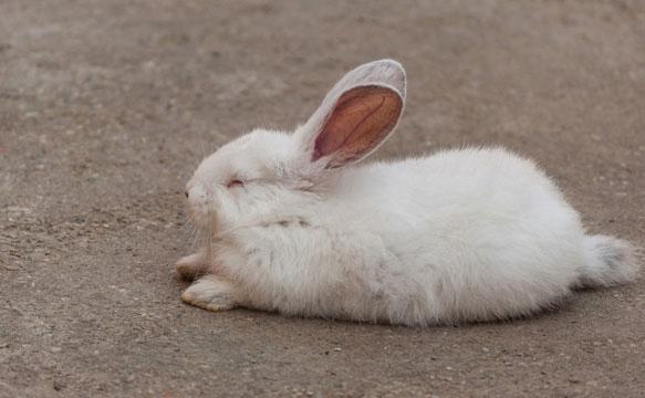 Сон у животных кролик