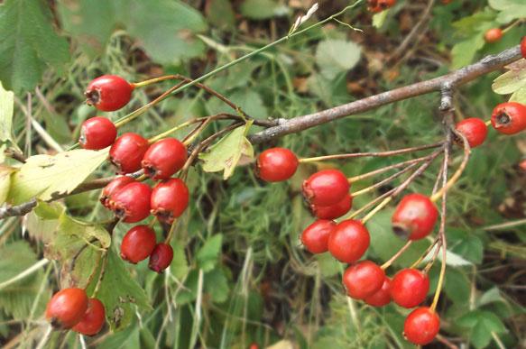Боярышник – ягода здорового сна