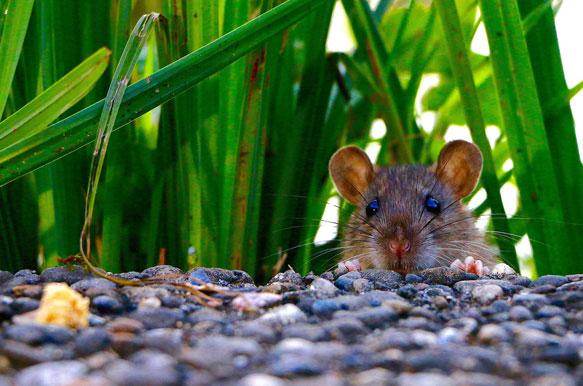 мышь во сне