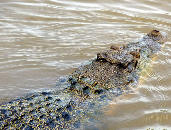 Крокодил во сне