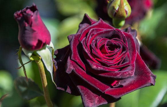 Роза во сне