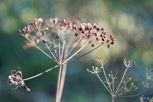 Отвар семян укропа