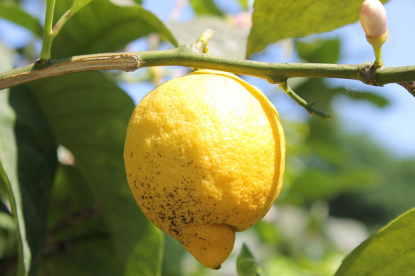 Лимон во сне