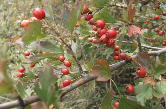 Настойка боярышника – полезные свойства при бессоннице и не только