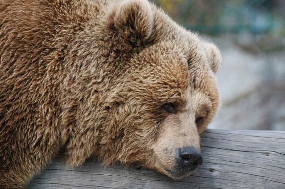 К чему снится лапа медведя фото