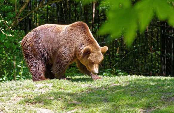 видеть во сне медведя бурого