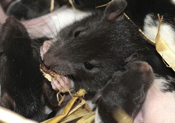 Крысы и мыши во сне