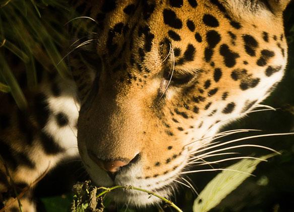 снится леопард