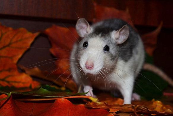 снится укус крысы во сне