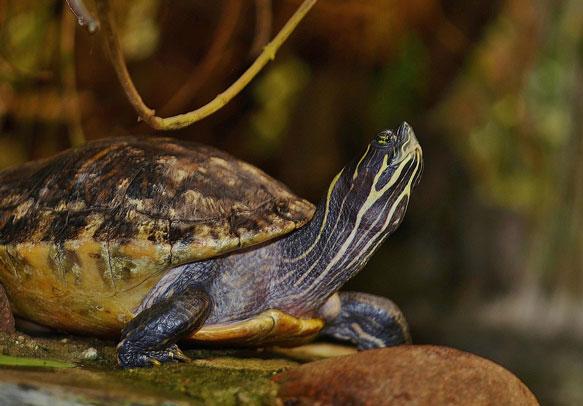 снится-черепаха