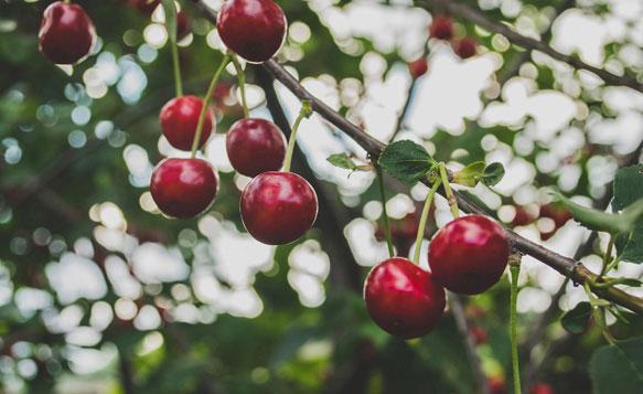 К чему снится цветение вишни фото