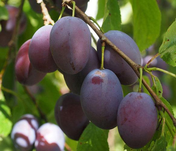 К чему снятся сливы спелые есть