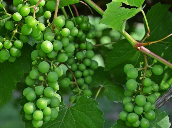 Если девушке виноград снится
