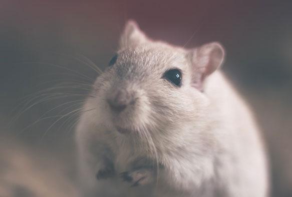 снится белая мышь