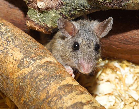 снится серая мышь