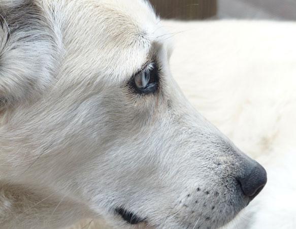 снится белая собака