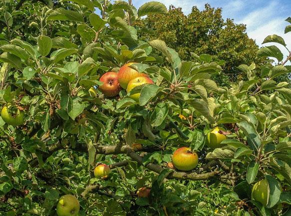 снится яблоня