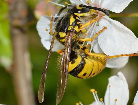 К чему снятся осы и шмели