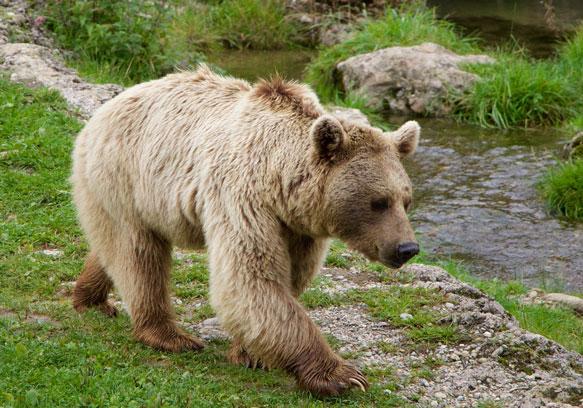 Фото К чему снятся много медведей женщине