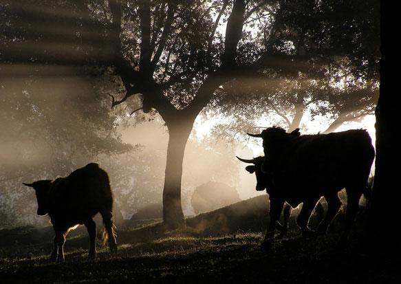 К чему снится стая быков фото