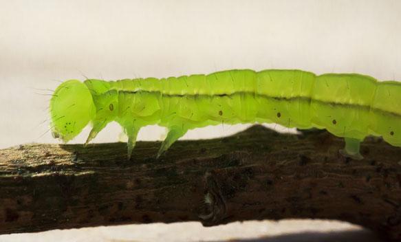 К чему снится гусеница